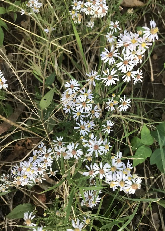 Frost Aster Flower stock photo