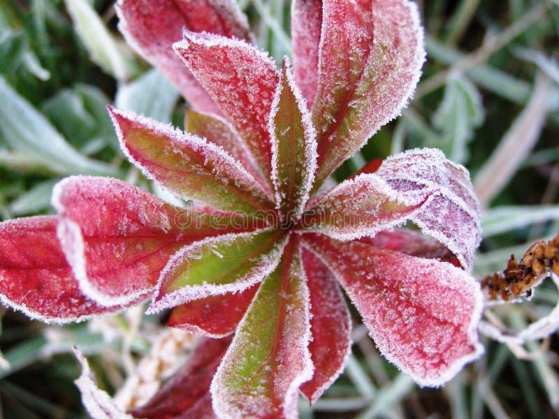 Frost auf Blume lizenzfreies stockfoto