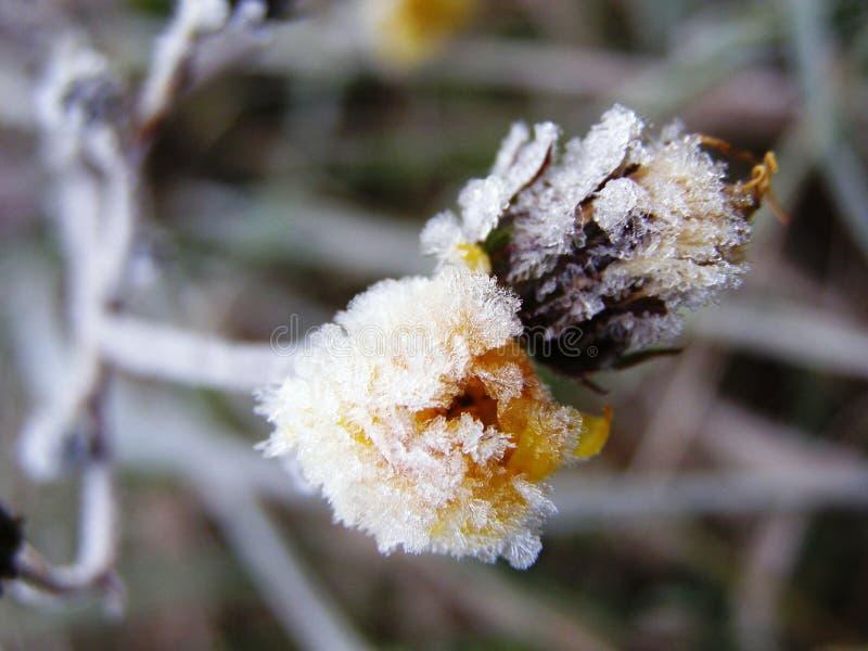 Frost auf Blume lizenzfreie stockfotos