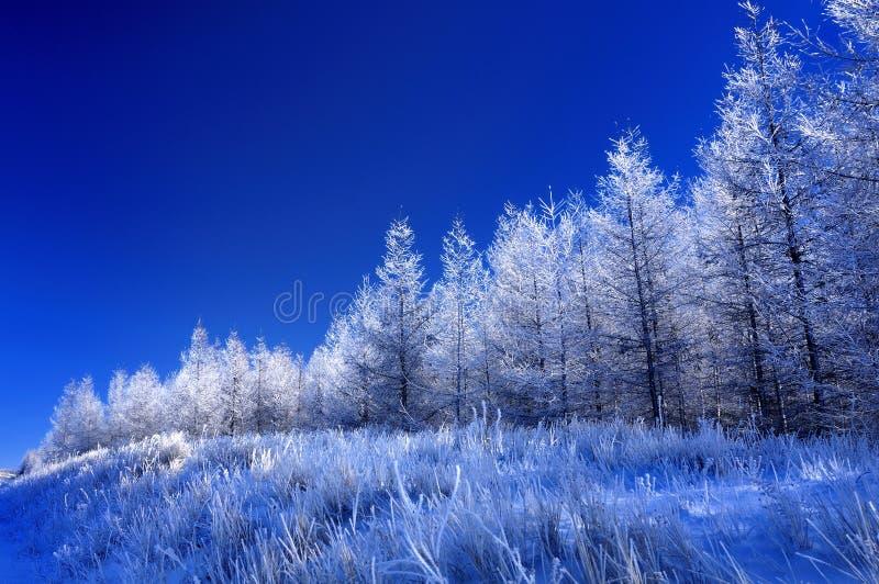 Frost auf der Kiefer stockfoto