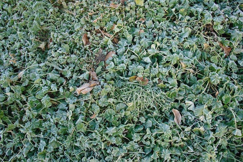 Frost auf grünem Gras stockbild