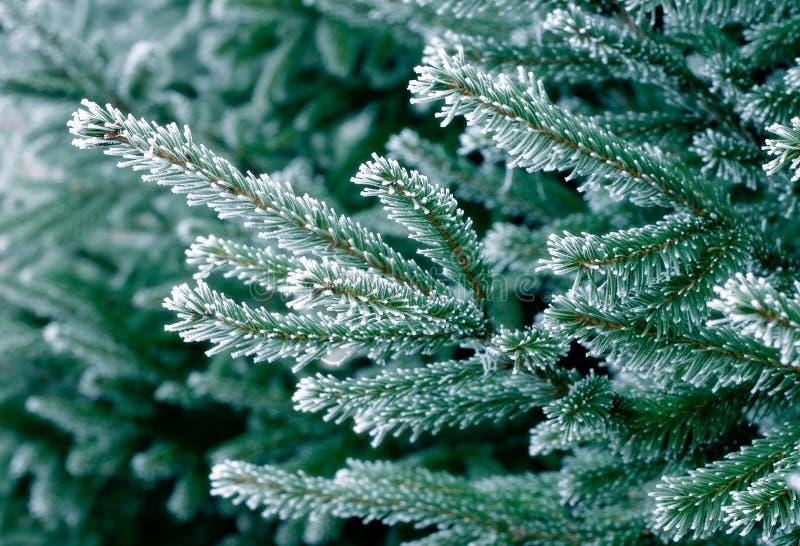 Frost auf Kiefer stockfotografie