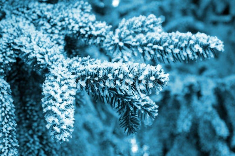 Frost auf Kiefer stockfotos