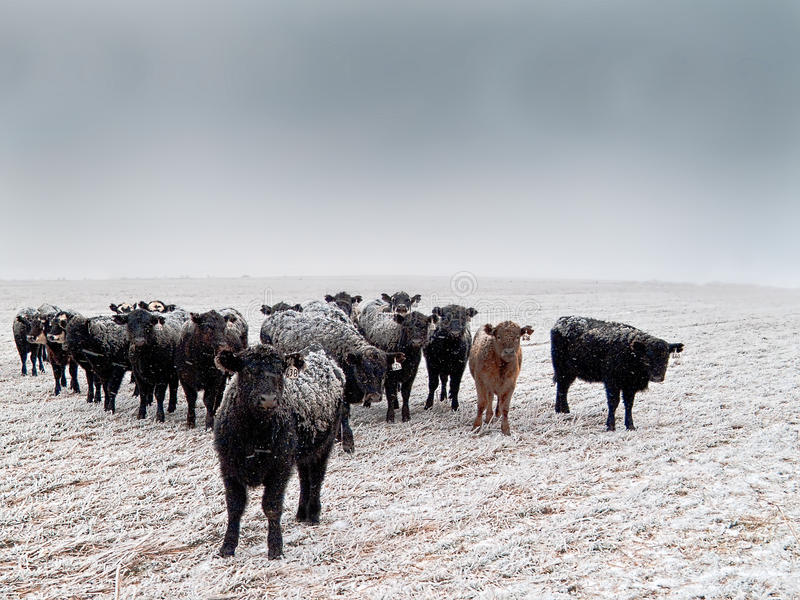 Frost-back Cattle. Range cattle in a wheat field after a winter storm royalty free stock photos
