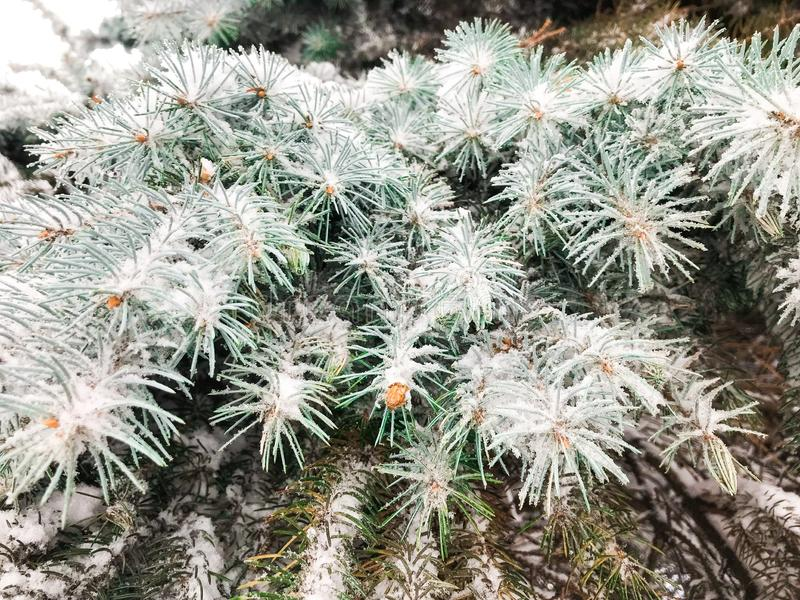 Frost on a branch of pine tree royalty free stock images