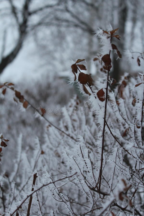 The frost on the branches stock images