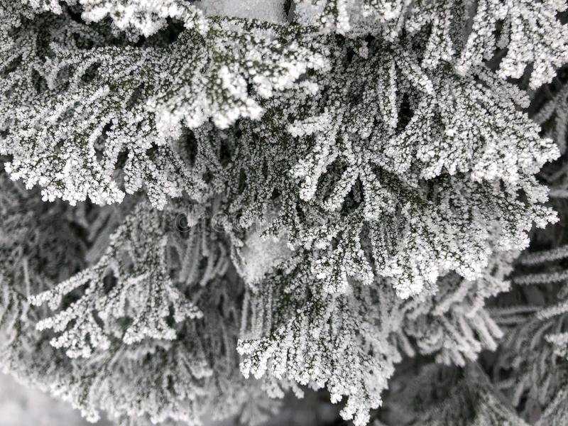 Frost on the branches of the Christmas tree. stock photo