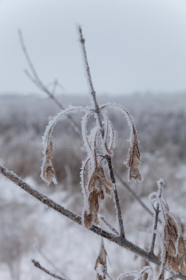 Frost on a branches. Russian provincial natural landscape in gloomy weather. Selective focus. Shallow depth of field.  royalty free stock image