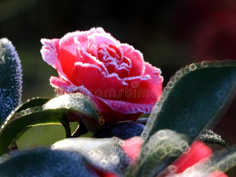 Frost camellia,neighbor`s flowers. In hangzhou, zhejiang province royalty free stock photo
