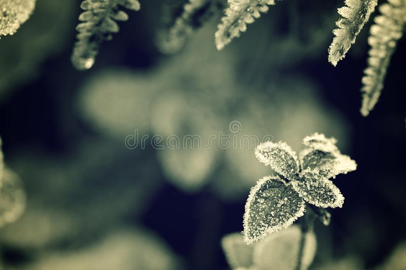 Frost. Closeup of a frost leaves in winter, Pyrenees, Spain stock photography