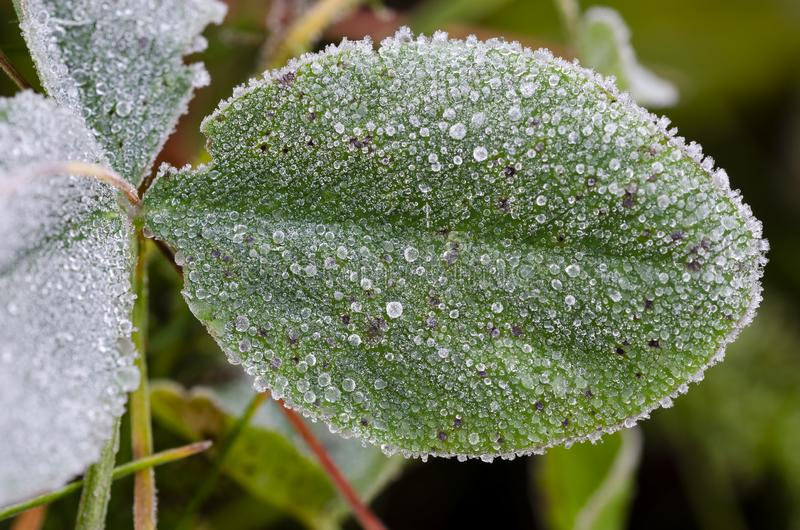 Frost on clover leaf at autumn. Frost on clovwe leaf at a cold autumn morning. Close up royalty free stock images