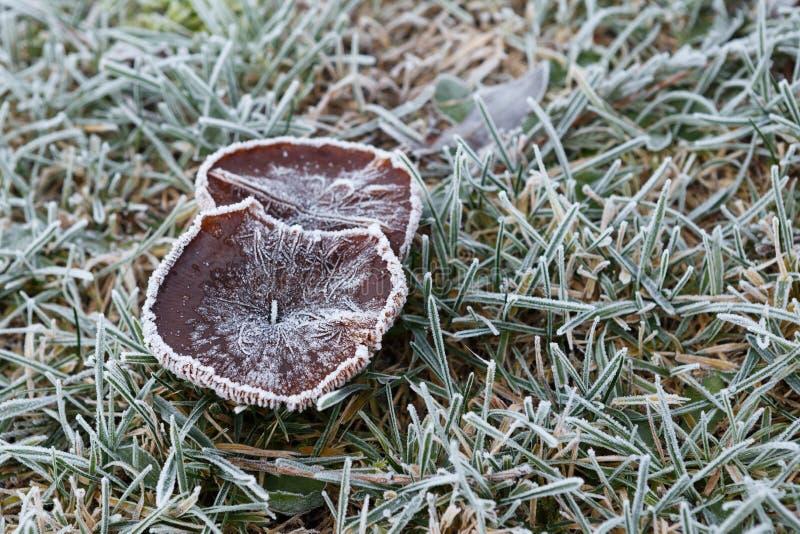 Frost cobriu o cogumelo e a grama no inverno imagens de stock royalty free
