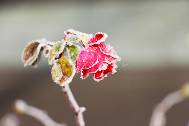 Frost a couvert Rose photos stock