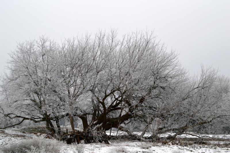 Download Frost Covered Box Elder Tree Stock Image - Image of field, elder: 84026283