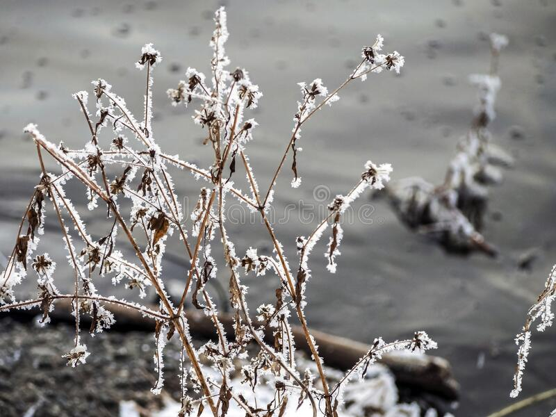 Frost covered dry plants near the unfrozen river in winter. In the southern Urals royalty free stock image