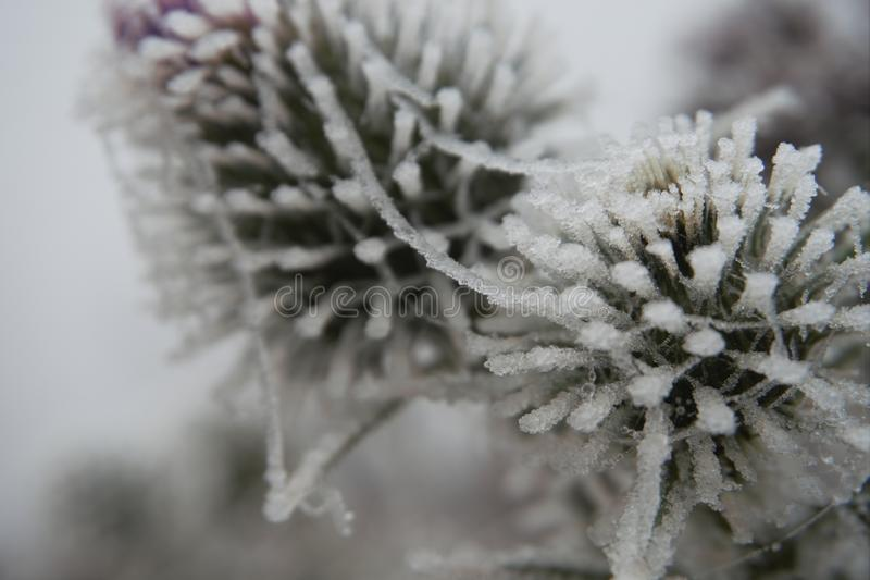 Frost covered green thistle flower in winter royalty free stock image