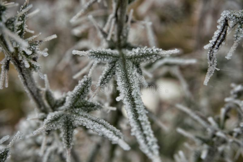 Frost covered green thistle leaves in winter royalty free stock photos