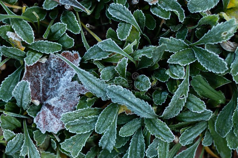 Frost-covered leaves in the garden royalty free stock photography