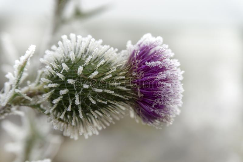 Frost covered purple thistle flower in winter. Frost covered purple thistle flower growing outdoors in winter in a close up side view conceptual of the weather royalty free stock image