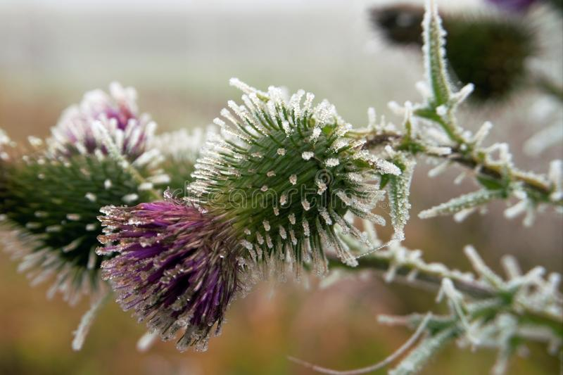 Frost covered purple thistle flower in winter. Frost covered purple thistle flower growing outdoors in winter in a close up side view conceptual of the weather stock images