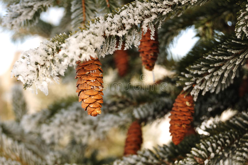 Frost Covered Spruce Tree Branches Stock Photos