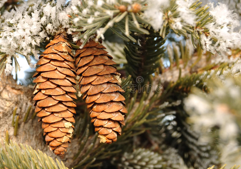 Download Frost Covered Spruce Tree Branches Royalty Free Stock Photo - Image: 16900205