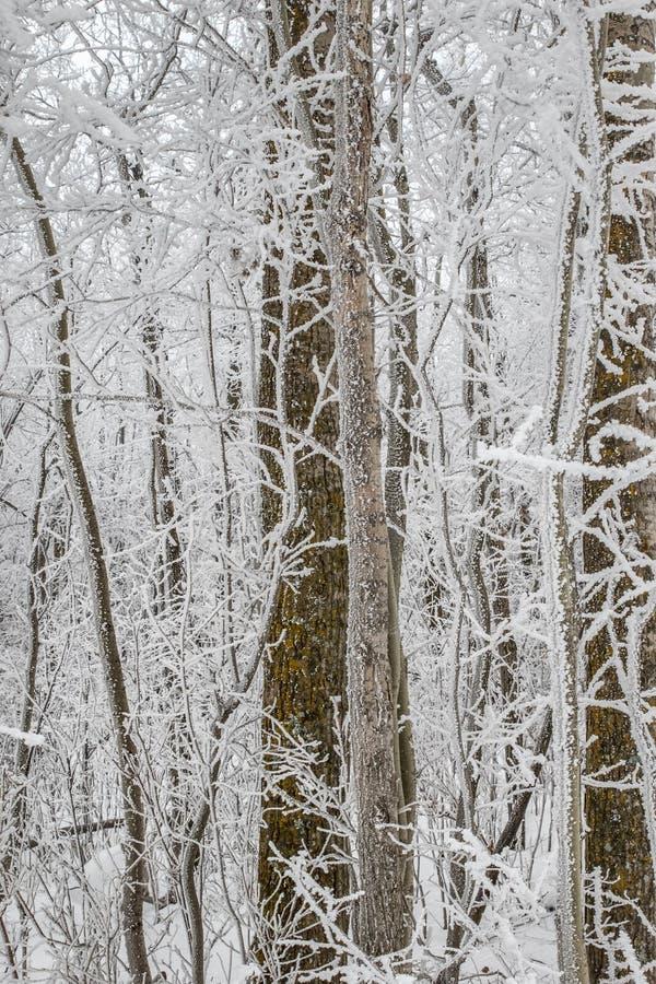 Frost cubrió el extracto del árbol fotografía de archivo libre de regalías