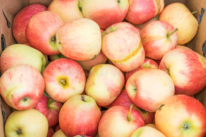 Frost damaged organic gala apples. Freshly harvested gala apples showing damage from a late spring frost royalty free stock photo