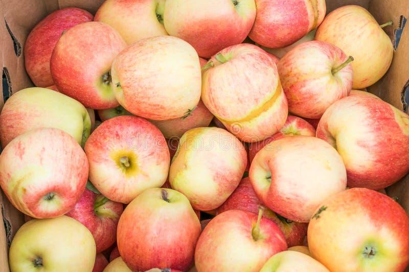 Frost danificou maçãs orgânicas da gala foto de stock royalty free