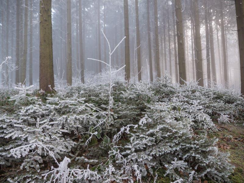 Frost dans la forêt des Alpes suisses photos libres de droits