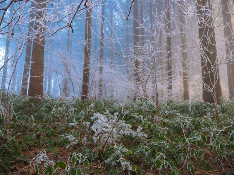 Frost dans la forêt des Alpes suisses photo stock