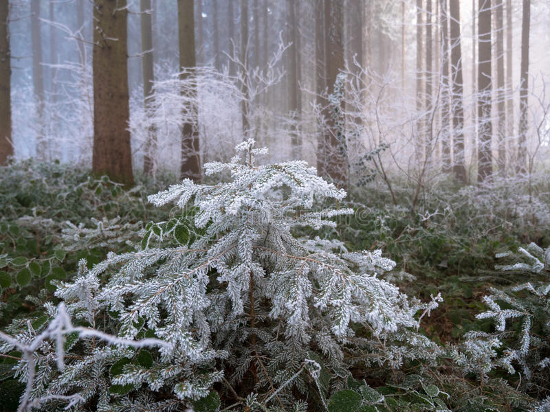Frost dans la forêt des Alpes suisses image stock