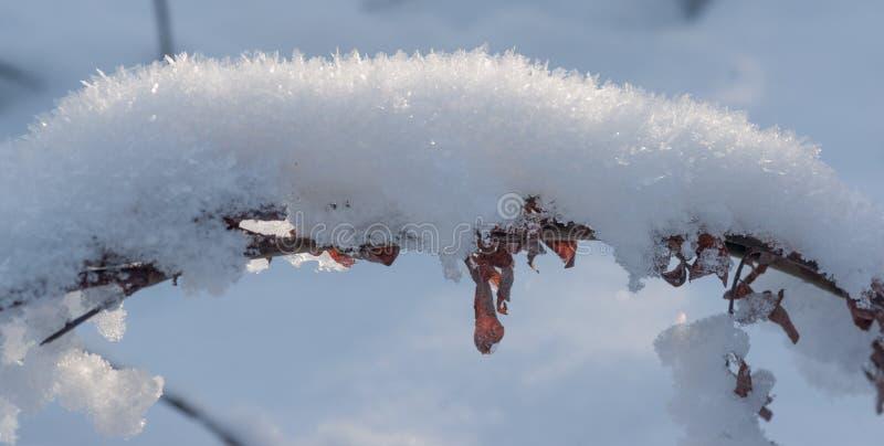 Frost de Hoar sur la tige d'algue de Bent images libres de droits