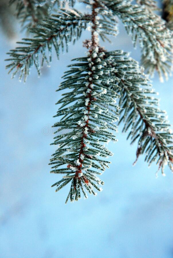 Free Frost Develops On The Needles Of A Pine Tree Royalty Free Stock Photo - 172606135