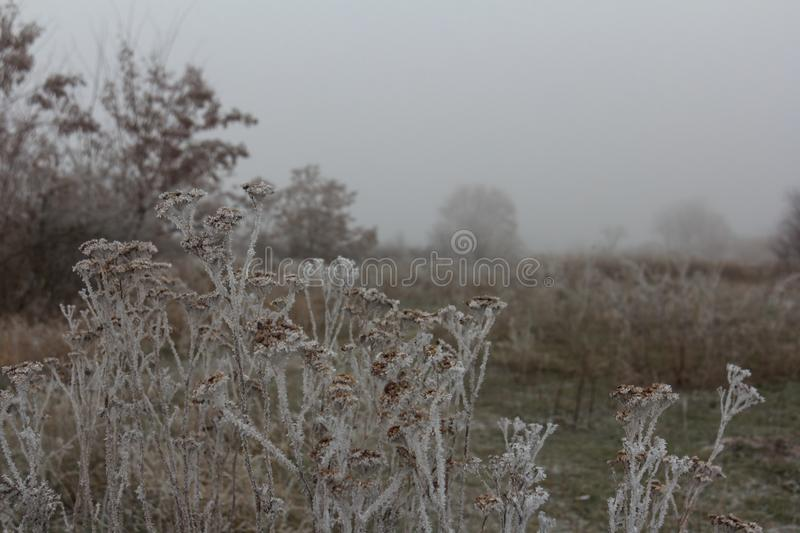 Frost on dry plants. Hoarfrost on dry grass in meadow. Frost covered grass or wild flowers. First frost in autumn countryside meadow. Winter background royalty free stock images