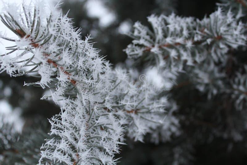 Frost em um ramo spruce imagens de stock royalty free