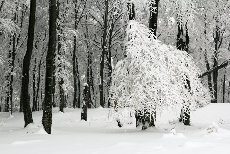 Frost en árboles en bosque con niebla en invierno fotos de archivo libres de regalías