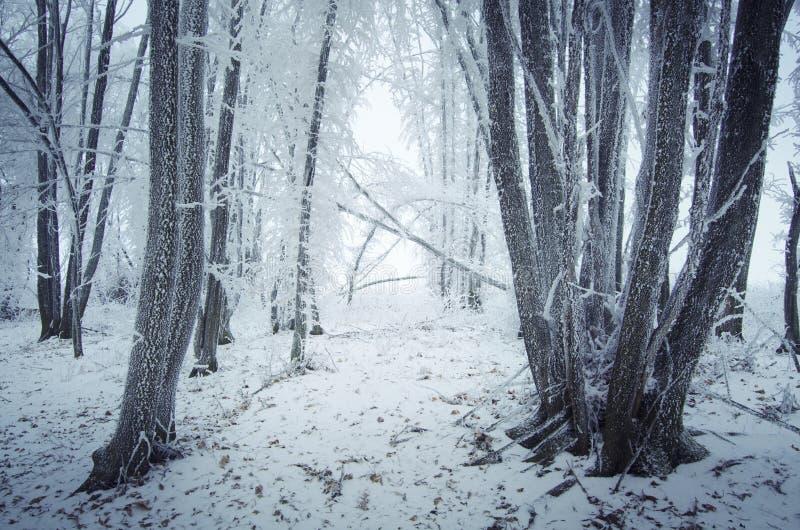 Frost en árboles en bosque del invierno fotografía de archivo libre de regalías