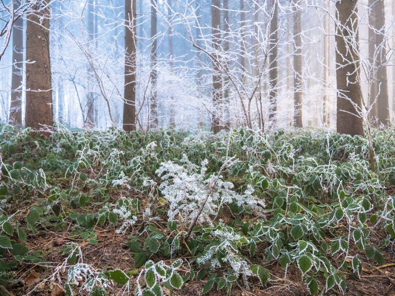 Frost en el bosque de las montañas suizas fotos de archivo