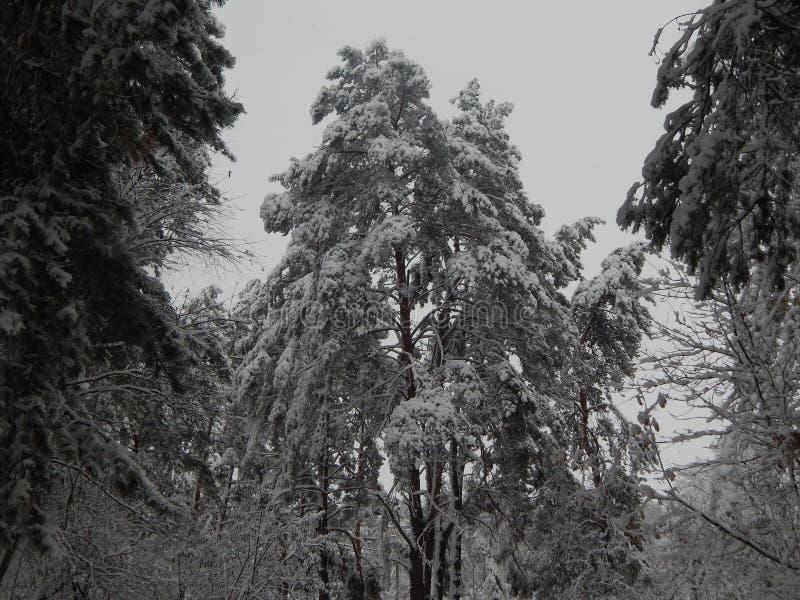 Frost envolveu a árvore de Natal em um revestimento branco foto de stock royalty free