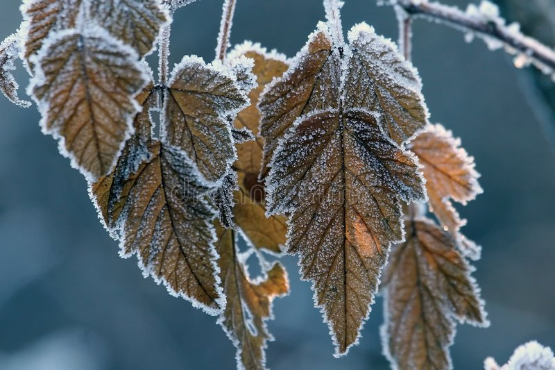 Frost on fall leaves royalty free stock image