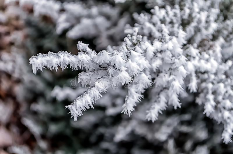 Frost on tree branches. Frost on fir tree branches. Winter scene royalty free stock images