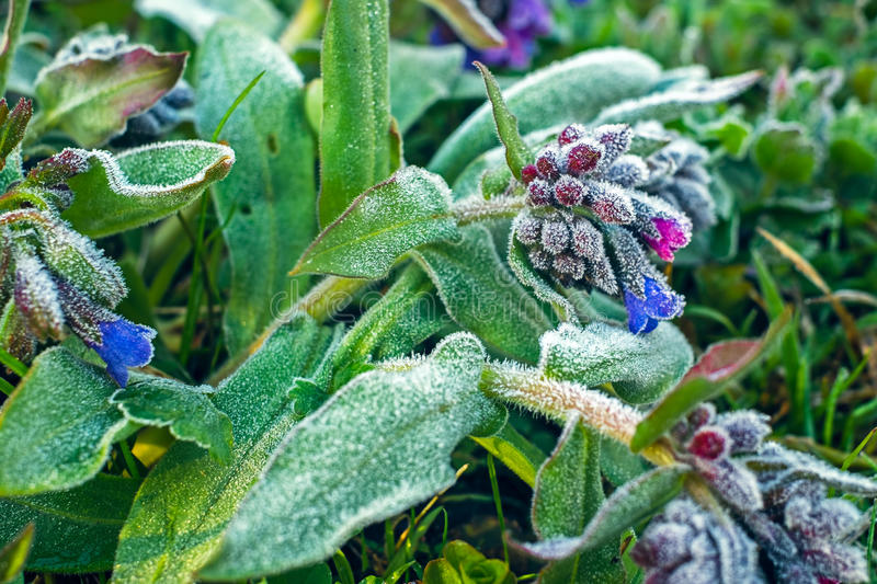 Frost on flowers. In the garden royalty free stock images