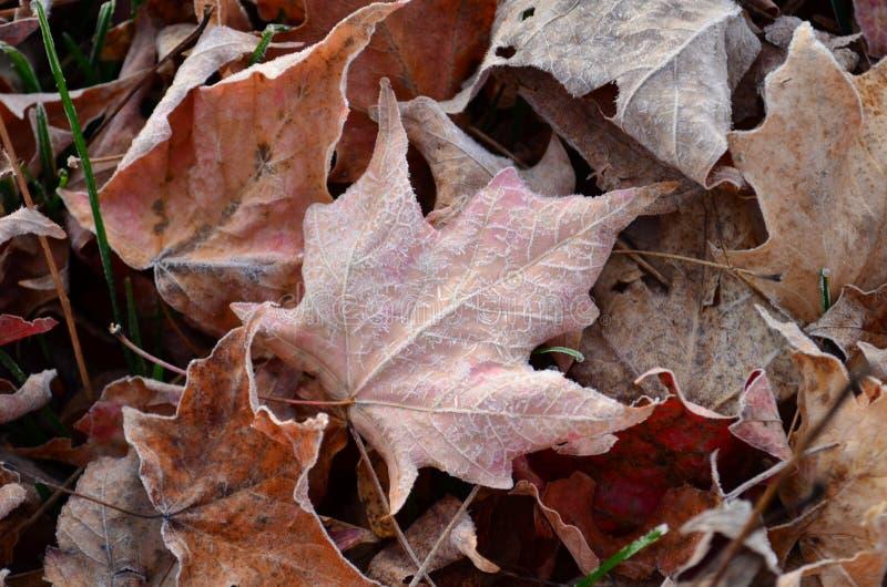 Frost formou cristais de gelo nas veias da folha caída fotografia de stock royalty free