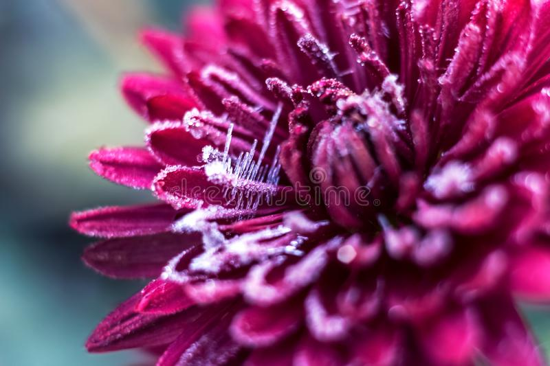 Frost frost first frost on flowers late autumn cold last flowers of chrysanthemum. Frost frost first frost frost on flowers late autumn cold last flowers of stock photography