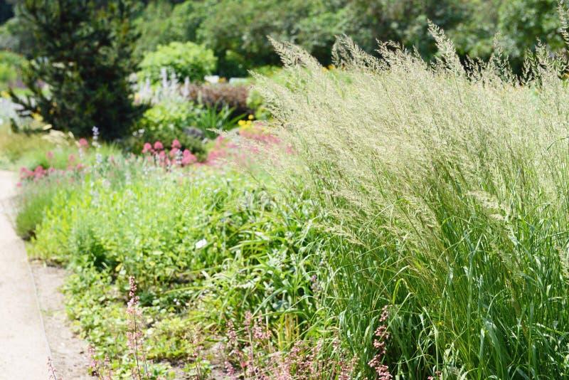Frost-Gras Spodiopogon-sibiricus im Blumenbeet Gras ist die alos, die als sibirischer Graubart und silberne Spitze bekannt sind stockbilder