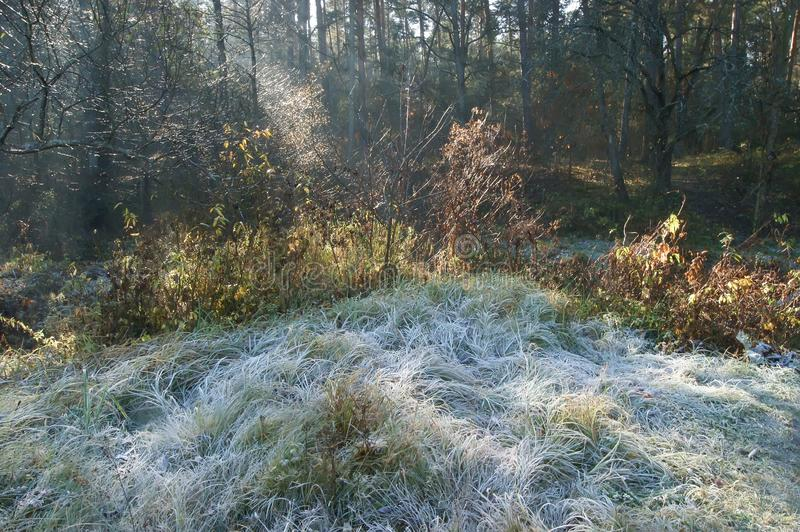First frost on the grass. Frost on the grass, rays of the autumn sun, morning in the forest royalty free stock photo