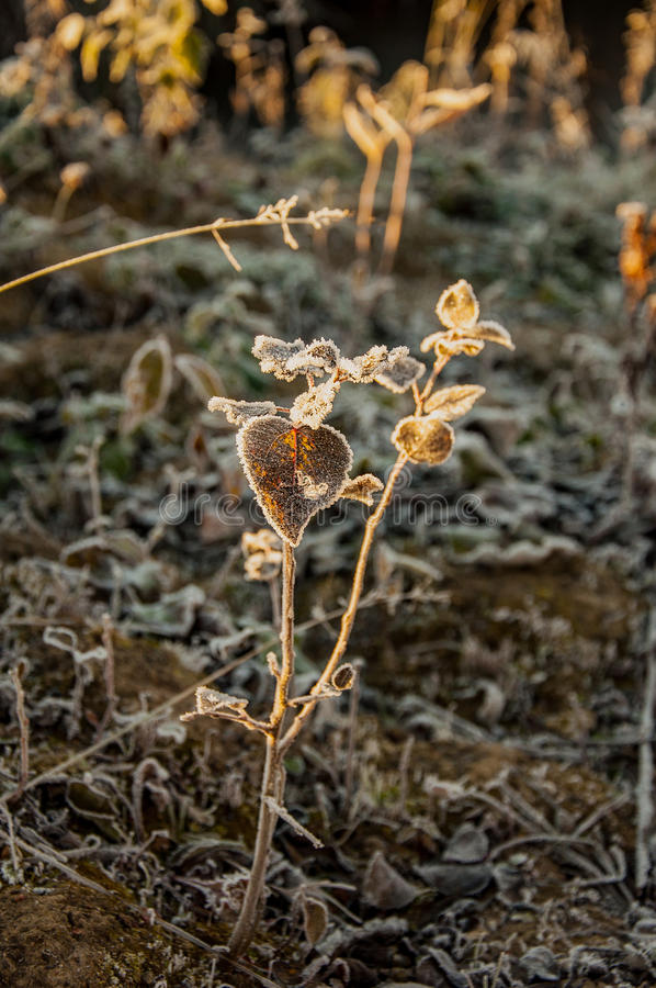 Download Frost On The Grass And Yellow Leaves Stock Photo - Image: 83716818
