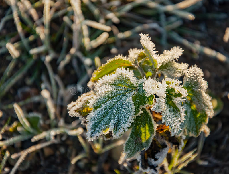 Download Frost On The Grass And Yellow Leaves Stock Photo - Image: 83717389