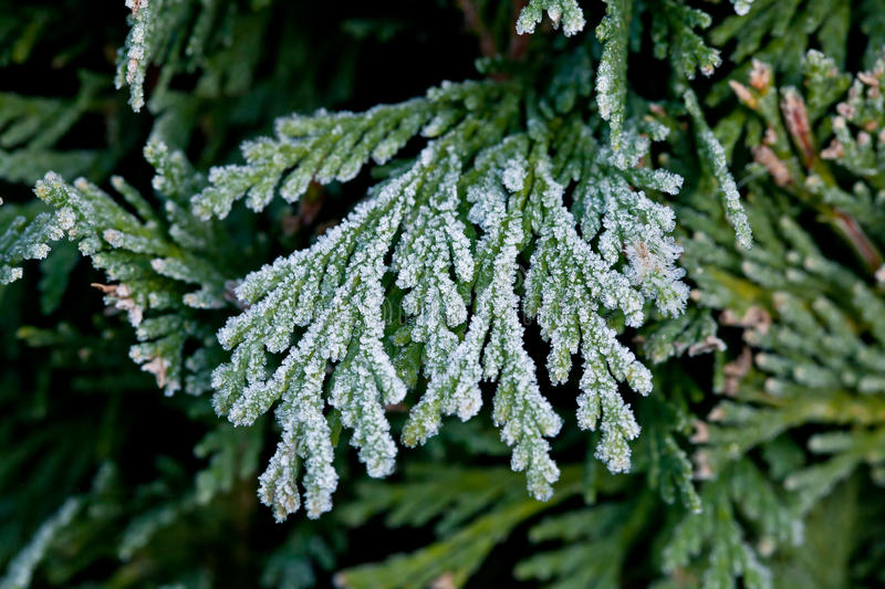 Download Frost on Hedge stock image. Image of green, detail, winter - 27745977